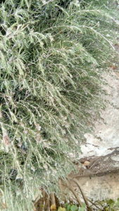 Picture of rosemary growing wild in Bet Shemesh