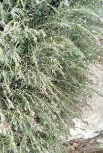 Rosemary growing wild in Bet Shemesh